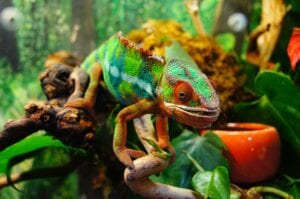 chameleon walking in foilage